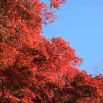 金蔵寺の紅を訪ねる