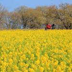新春の菜の花とメタセコイア並木