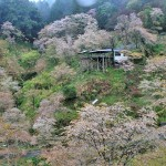 2015年4月、桜咲く吉野