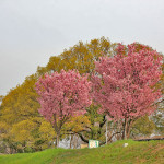 桂川沿いの桜並木
