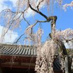 奈良、氷室神社の枝垂れ桜、見頃