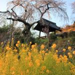 見ごろ迎える、地蔵禅院の桜(井手町)