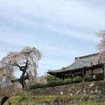 小倉観音寺(奈良市)の枝垂れ桜