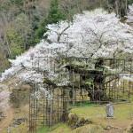 樽見の大桜、満開