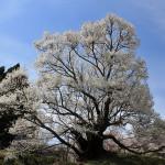 佛隆寺の千年桜、満開