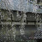 円通寺(氷上町)のイトザクラ、三分咲き