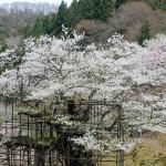 樽見の大桜~兵庫の桜を巡るツーリング
