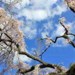 月ヶ瀬の梅、氷室神社の桜をめぐるツーリング