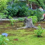 勧修寺-紫陽花と睡蓮と子ガモたち