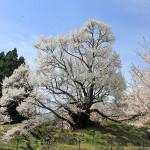 佛隆寺の千年桜~諸木野の桜をめぐるツーリング