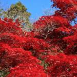 金蔵寺の紅