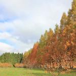 メタセコイア並木と奥琵琶湖パークウェイ