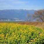 〔新春恒例〕 びわ湖菜の花ツーリング