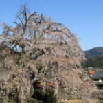 福井県妙祐寺の枝垂桜、見ごろ