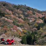 2019年4月常神半島、神子の桜ツーリング